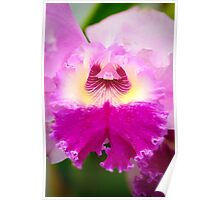 Bi-Color Cattleya Orchid Poster