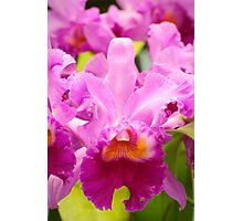 Pink Cattleya Orchids Photographic Print