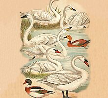 Swans and Ducks by Eric Kempson