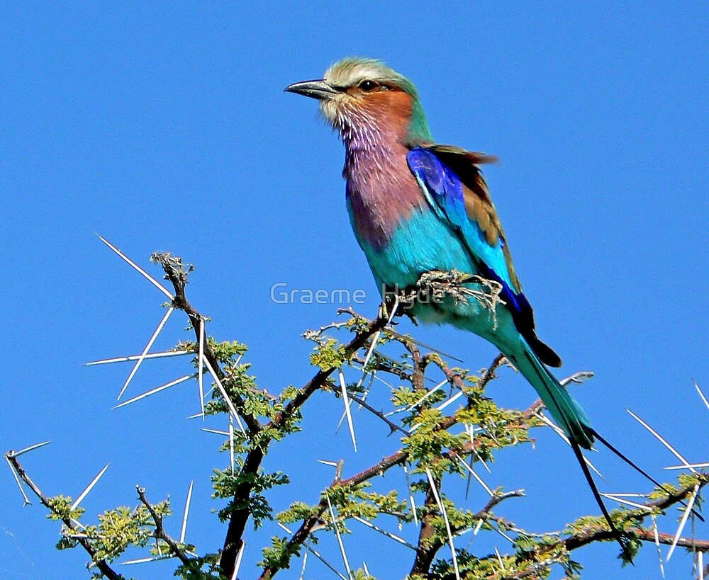 Lilac-breasted Roller  by Graeme  Hyde