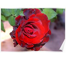 Climbing red rose Poster