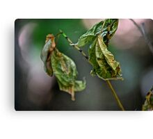 two wrinkled leaves Canvas Print