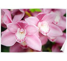 Pink Cymbidium Orchid Poster