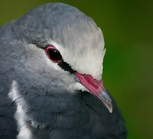 Wonga Pigeon by Tamara  Kenneally