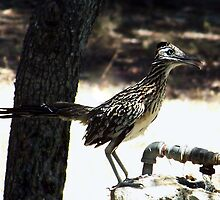 Thirsty Roadrunner by Penny Odom