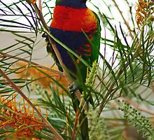 Rainbow Lorikeet by Tony Waite