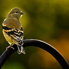 American Goldfinch by onyonet photo studios