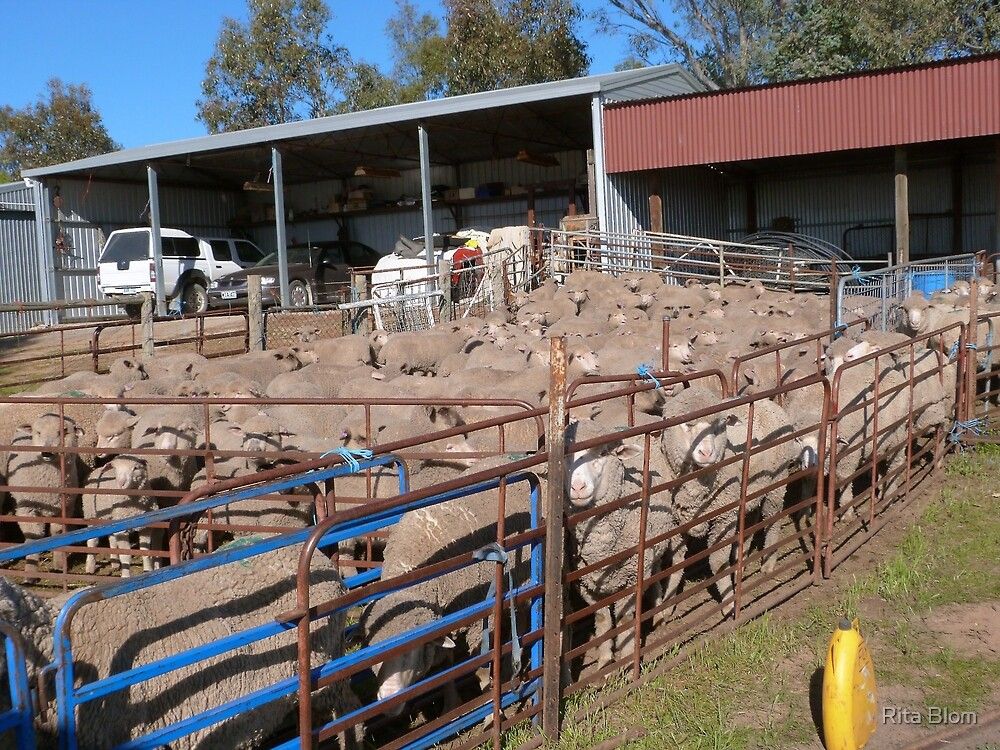 'Ewes' in the Race waiting to be crutched. 'Arilka' Mount Pleasant.S.A. by Rita Blom