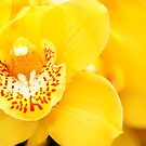 Yellow Cymbidium Orchid by Oscar Gutierrez