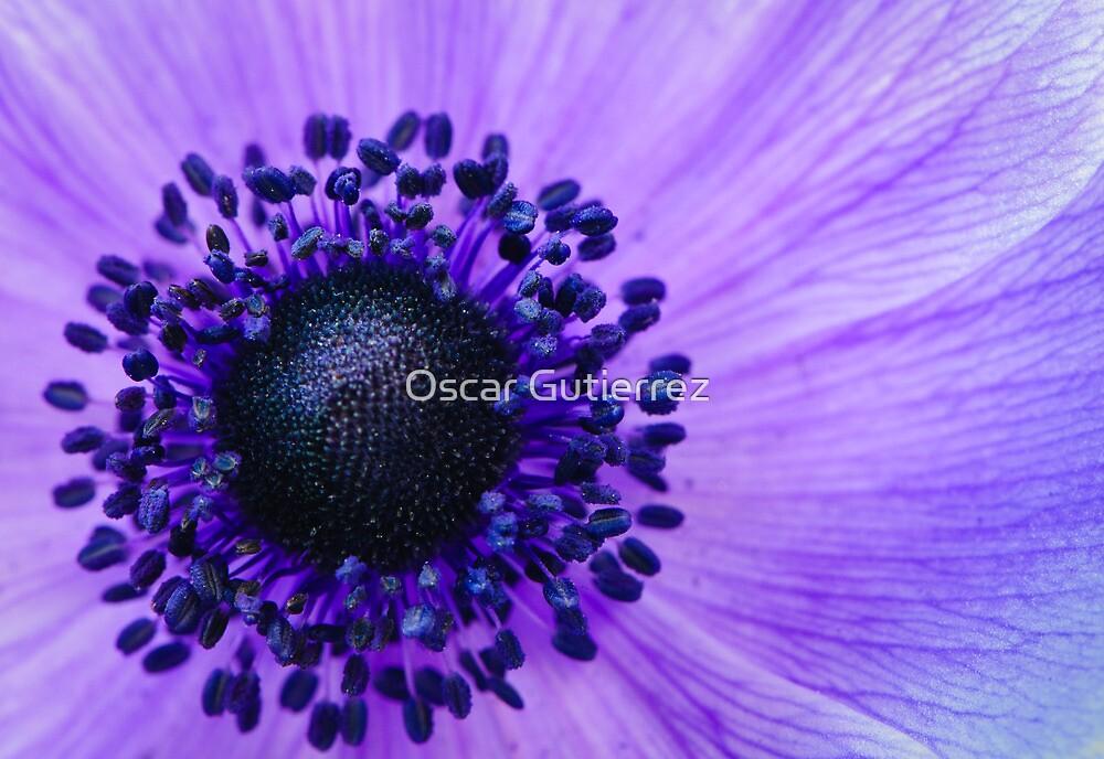 Purple Anemone Poppy by Oscar Gutierrez