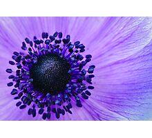 Purple Anemone Poppy Photographic Print