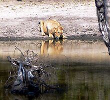 Lion at the Waterhole by Graeme  Hyde