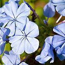 Blue Plumbago by PhotosByHealy