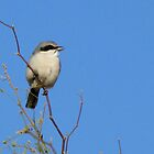 Loggerhead Shrike  by Kimberly P-Chadwick