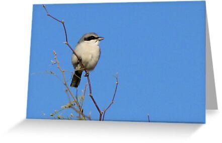 Loggerhead Shrike  by Kimberly Chadwick