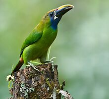 Emerald Toucanet 2,  Costa Rica by Raymond J Barlow