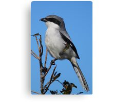 Loggerhead Shrike Canvas Print