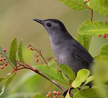 Gray Catbird by naturalnomad