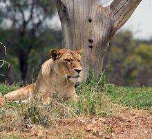 Werribee Zoo - Lioness by Dean Osborne