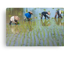 Paddy Field 1 Canvas Print