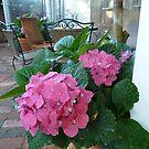 Bright Pink Hydrangea by joycee