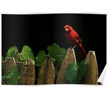 Male Cardinal Stare (Orton Effect) Poster