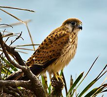Kestrel at Mona vale beach Sydney NSW by Doug Cliff