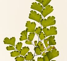 Maidenhair by Barb Leopold