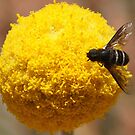 Hovefly on yellow flower by bobby1