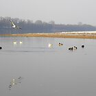 Danube.river.bank.with.gulls and ducks_Hungary.Europe.Jan.2011 by ambrusz