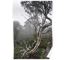 TWISTED OLD ALPINE EUCALYPTS Poster