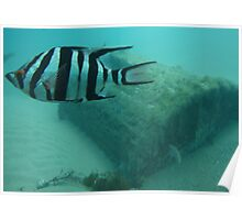 Old Wife Fish with Old Barrell Poster
