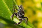 Chink Jumping Spider - Holoplatys complanata by Normf