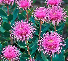 Stirling Ranges Coneflowers by Penny Smith