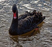 Black Swan by Ray Clarke