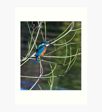 Kingfisher @ Kingsbury Art Print