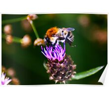Feeding Time - Bee on Thistle Poster
