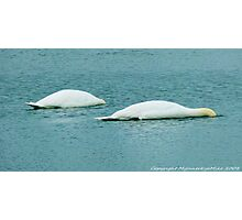 #346 Two Swans Ducking Photographic Print