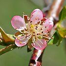 Peach Blossom by Diana Nault