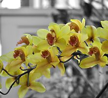 Yellow Orchids by Dorothy Thomson