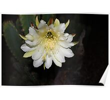 Cacti flower at night Poster