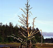 Snag Tree in Bird Sanctuary (Masset, Haida Gwaii, British Columbia, Canada) by Edward A. Lentz
