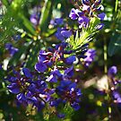 Don's Hovea by kalaryder