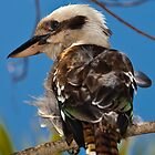 Australian Kookaburra  (genus Dacelo) by Chris Westinghouse