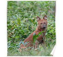 India Wild Dog Poster