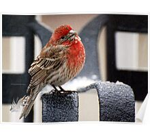 House Finch 1 Poster