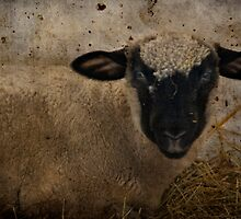 You All Know the Story of Mary and Her Little Lamb.... by TeresaB