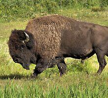 Big Bull Bison by JamesA1