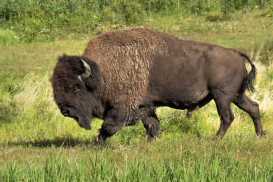 Big Bull Bison by JamesA1