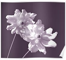 White Anemone Poster